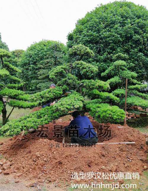 基地直销:罗汉松苗木直销-造型罗汉松优惠就来湖南罗汉松苗圃啦!