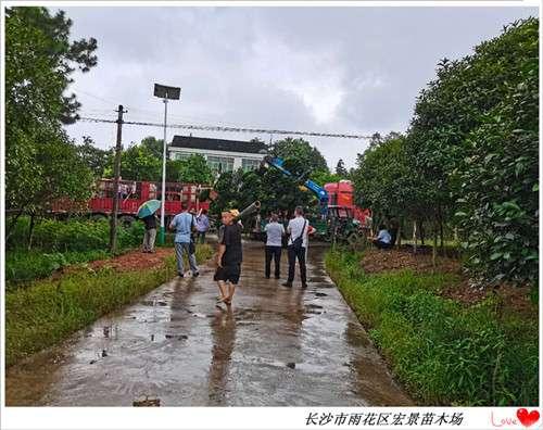 湖南罗汉松苗木,造型罗汉松价格-宏景苗木场