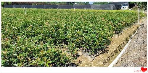 红叶石楠杯苗,湖南红叶石楠价格,红叶石楠球-宏景苗木场