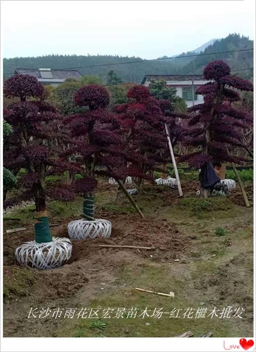 湖南红花檵木树桩-湖南红花檵木价格-宏景苗木场