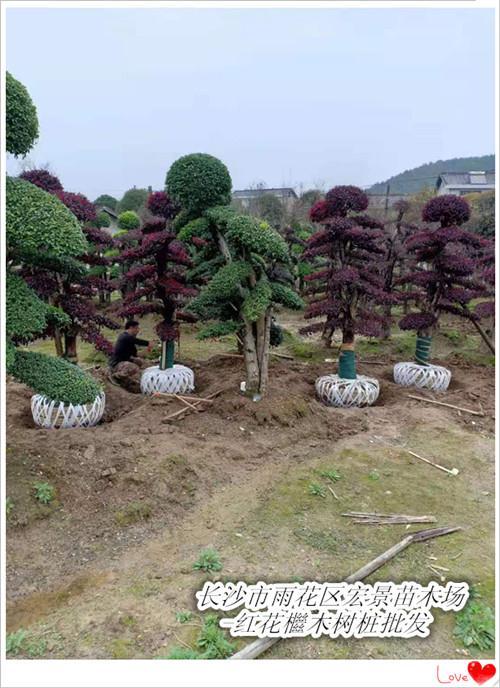 浏阳红花檵木批发,浏阳红花檵木价格-宏景苗木场