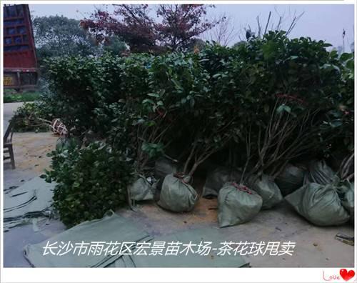 浏阳茶花球批发,浏阳茶花球价格-宏景苗木场