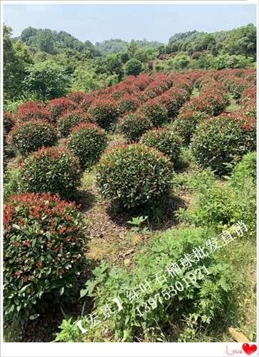 最新湖南红叶石楠价格 现货直销100万棵红叶石楠苗木上宏景苗木
