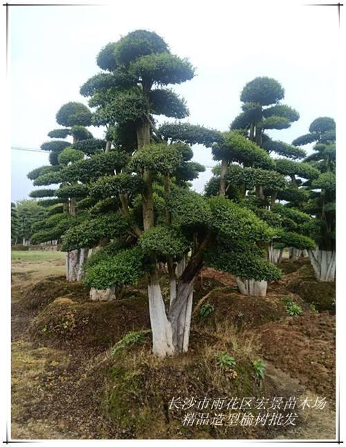 湖南造型榆树优惠直销-便宜好苗找宏景