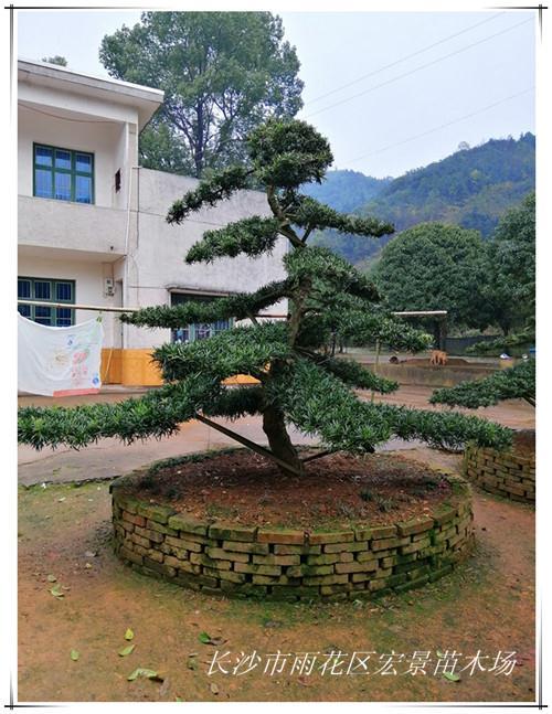 造型罗汉松 精品湖南罗汉松苗木找宏景