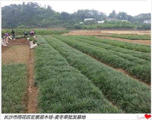 湖南麦冬草价格便宜-浏阳麦冬草现挖现卖找宏景苗木